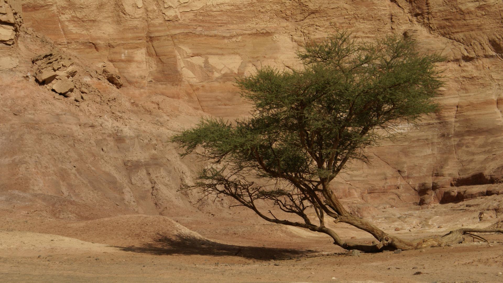 Acacia in Sinai, by Florian Prischl