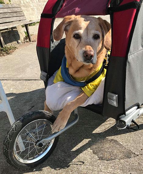 dog buggy arthritis OA osteoarthritis how to treat