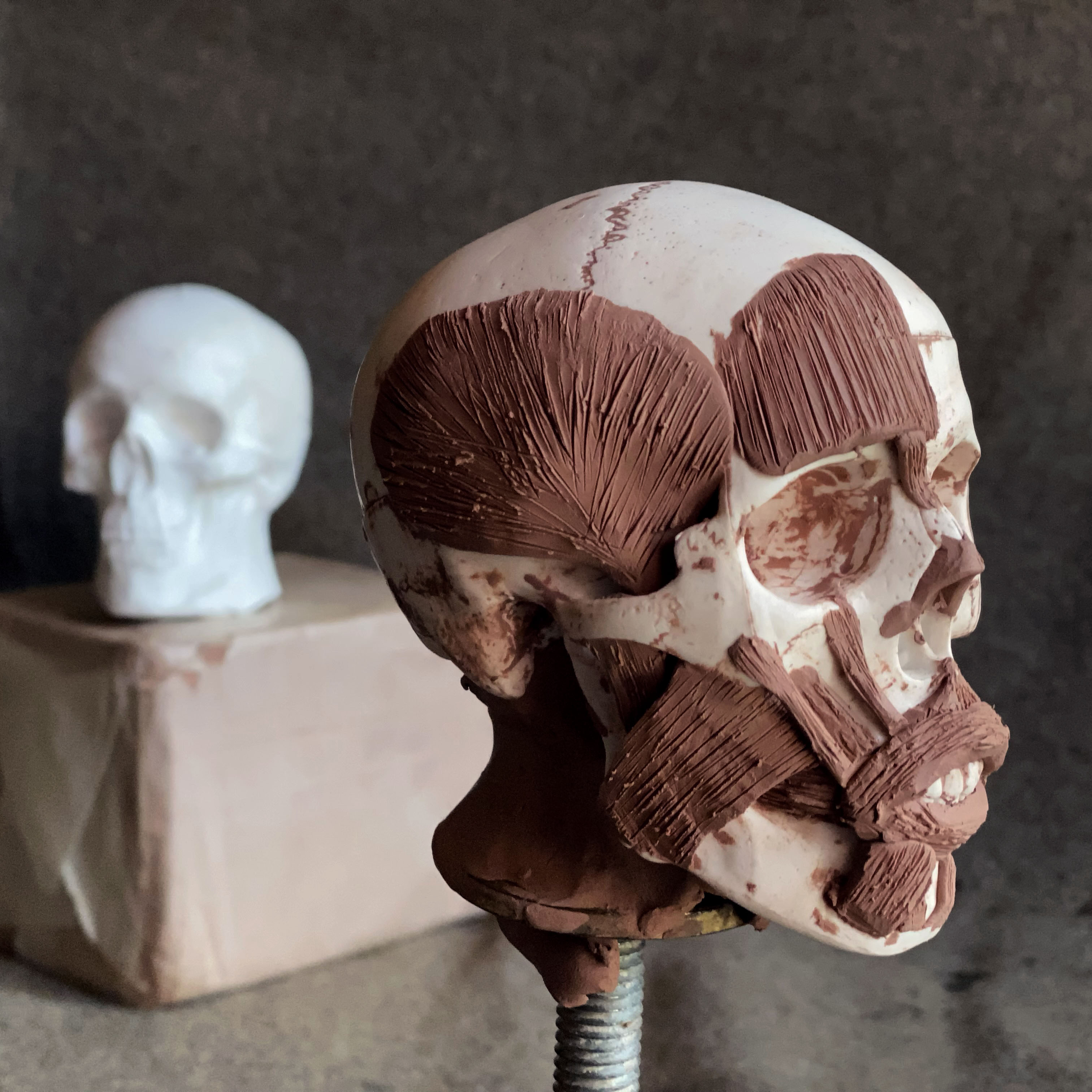 Ecorche sculpture skull with clay muscles
