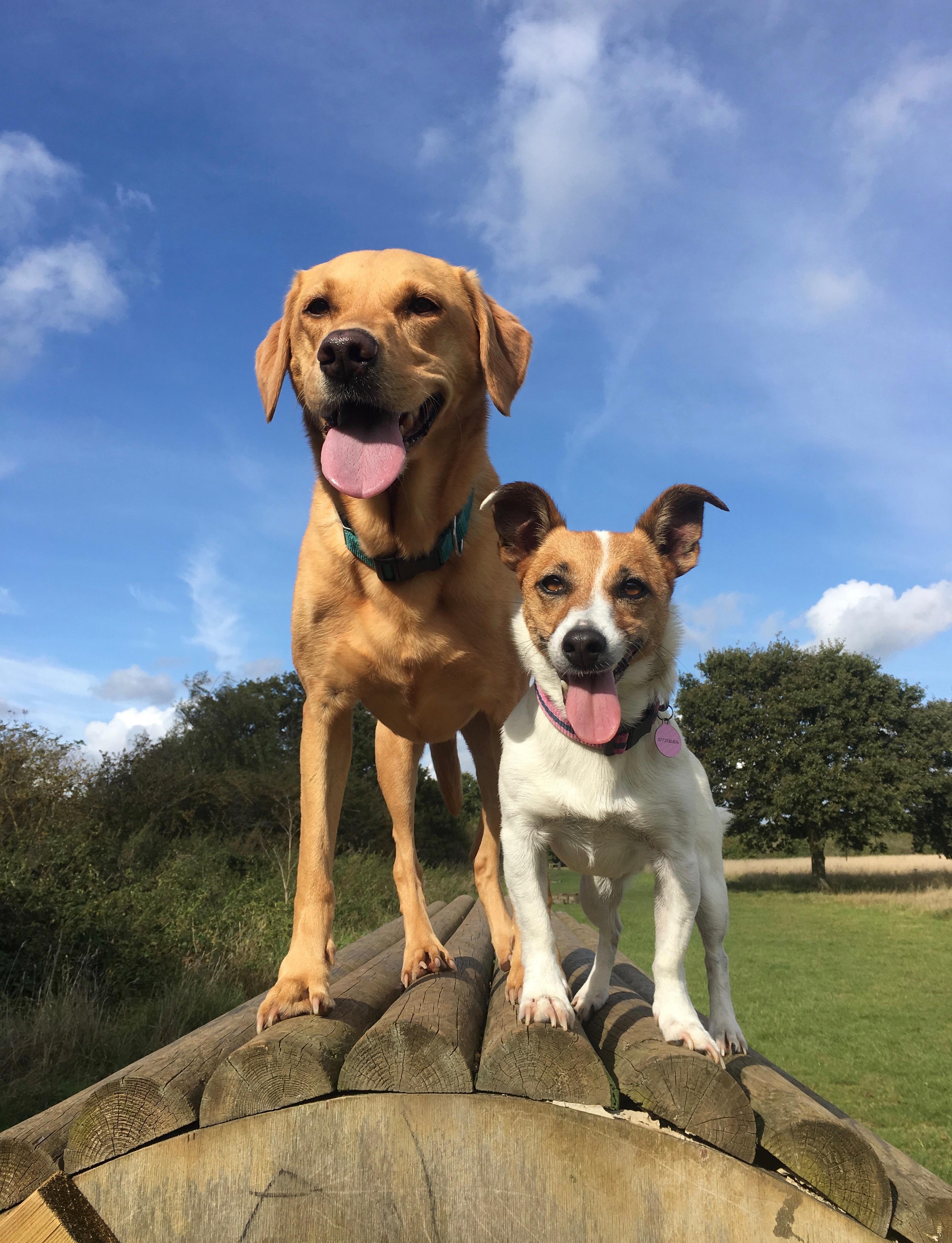 labrador and jet pose on jump