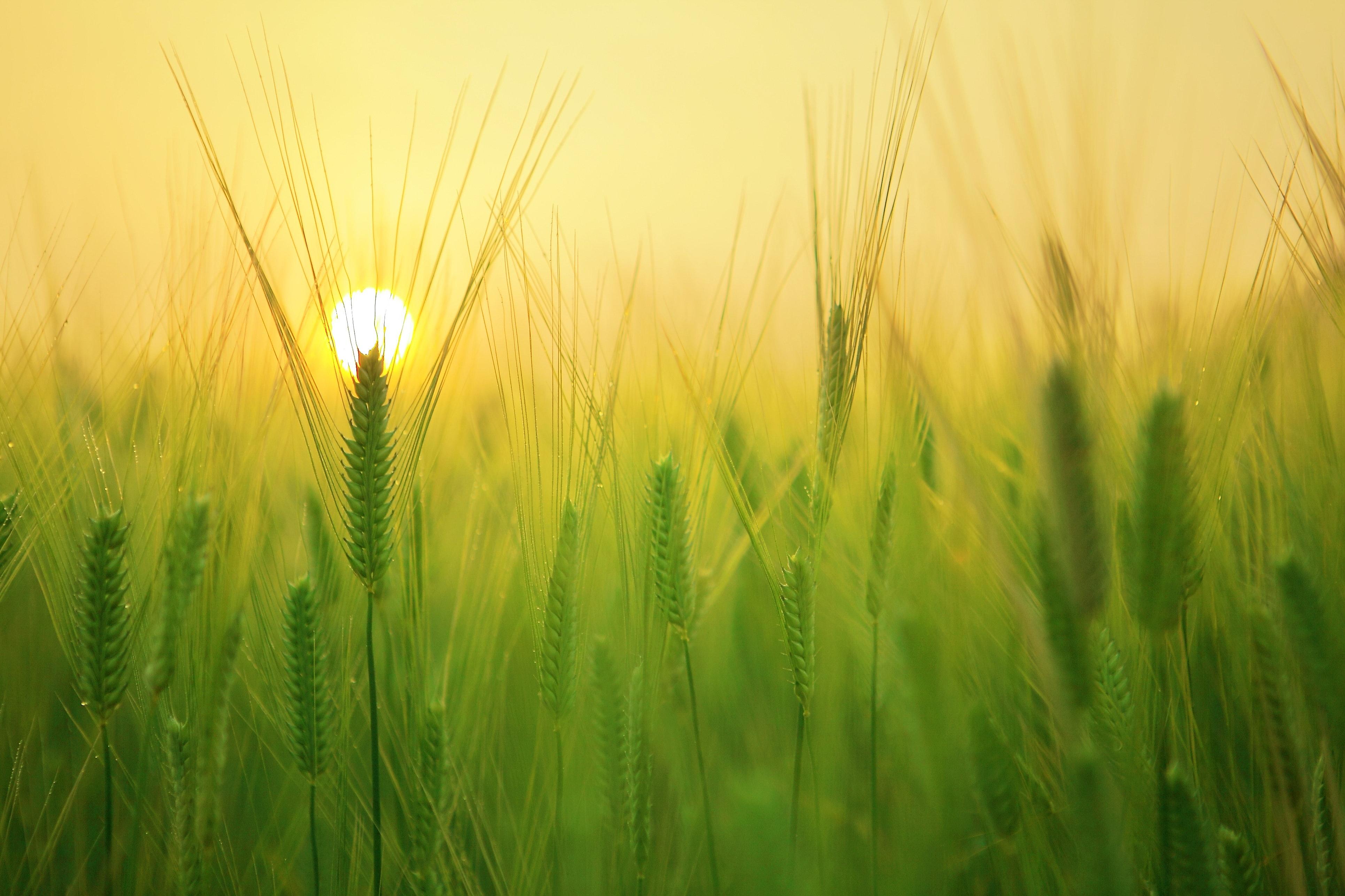 morning sun shining on a fresh field of barley
