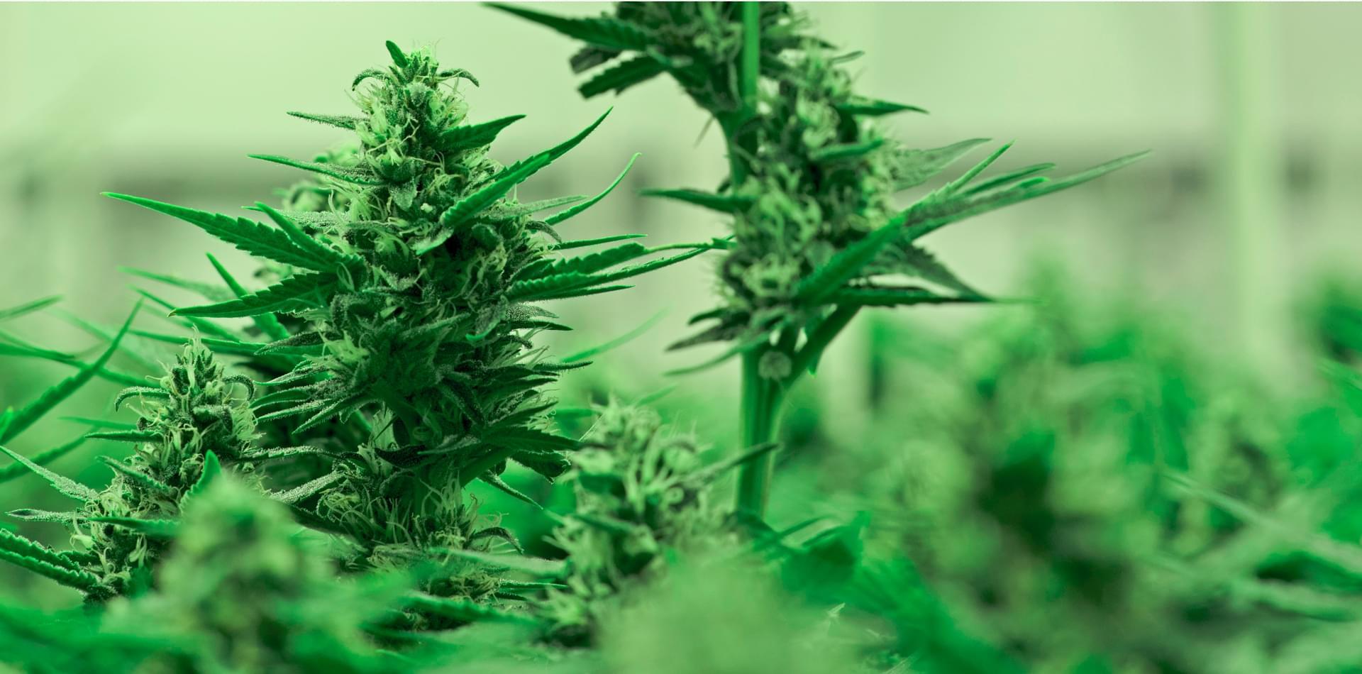 Hemp plants and cannabis plants.