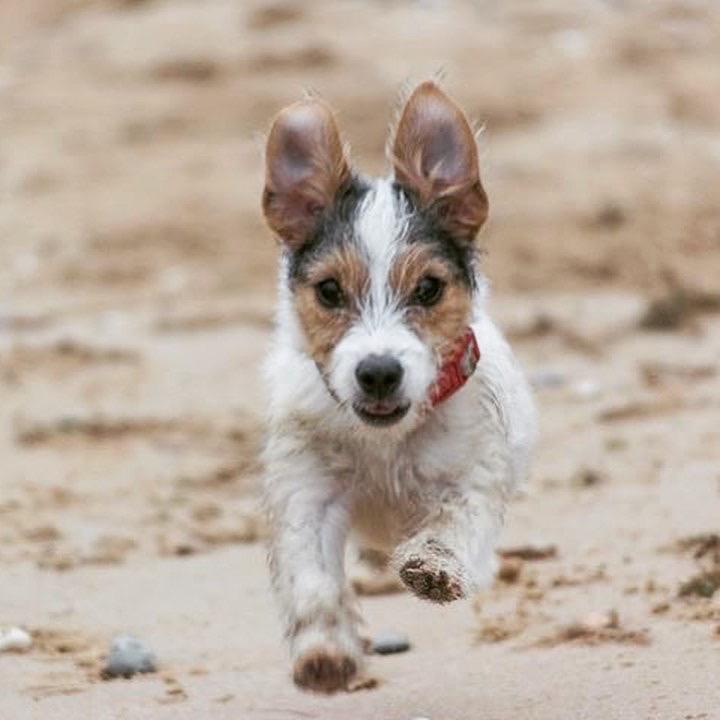 Puppy terrier runs toward me on the beach