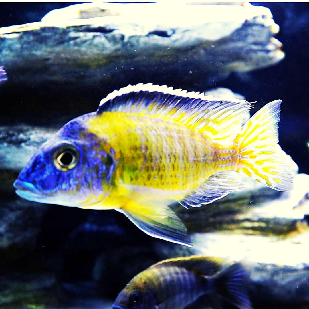 Flavescent Peacock African Cichlid