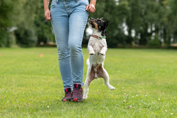 jack russell terrier jumping up while walking next to owner