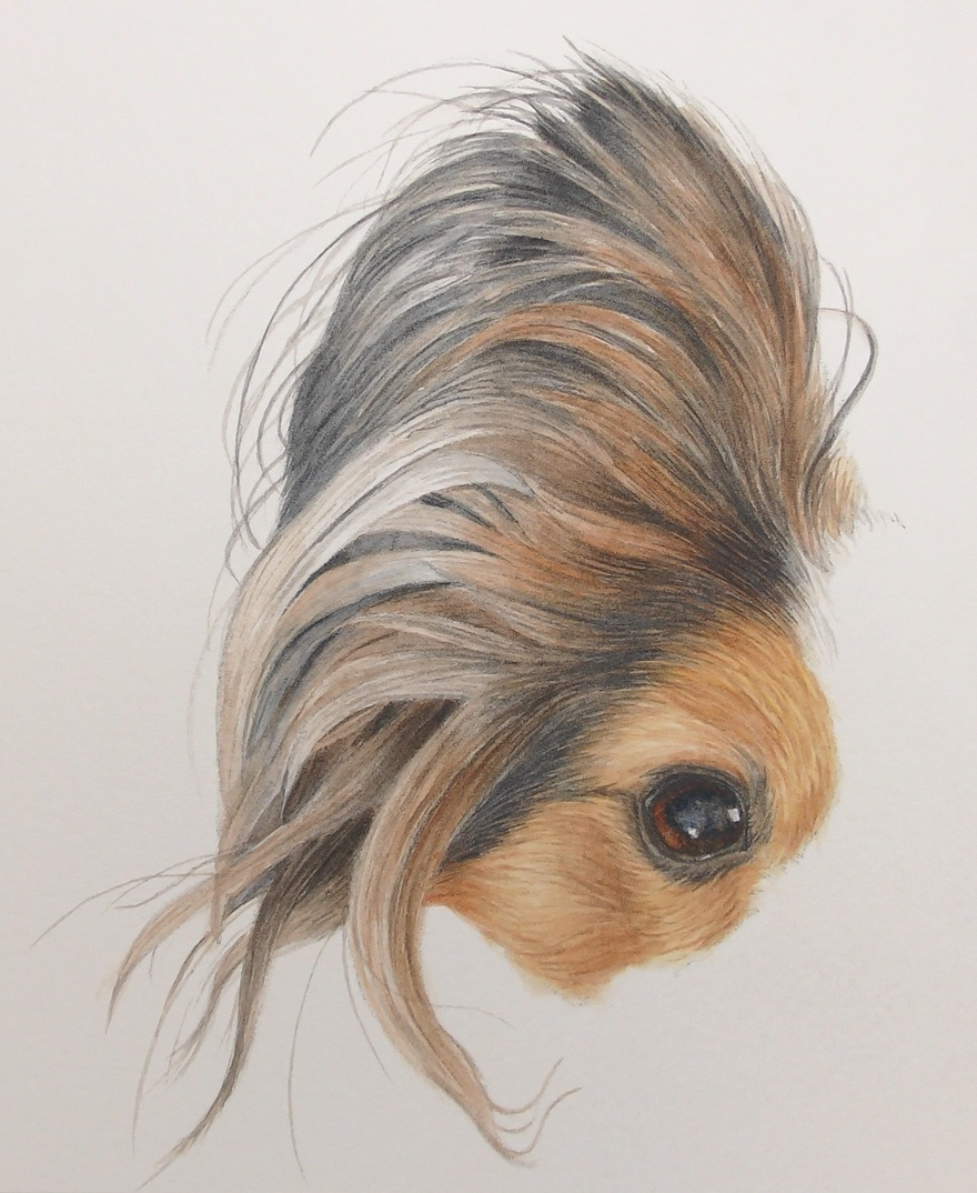 papillon dog in watercolor by rebecca rhodes