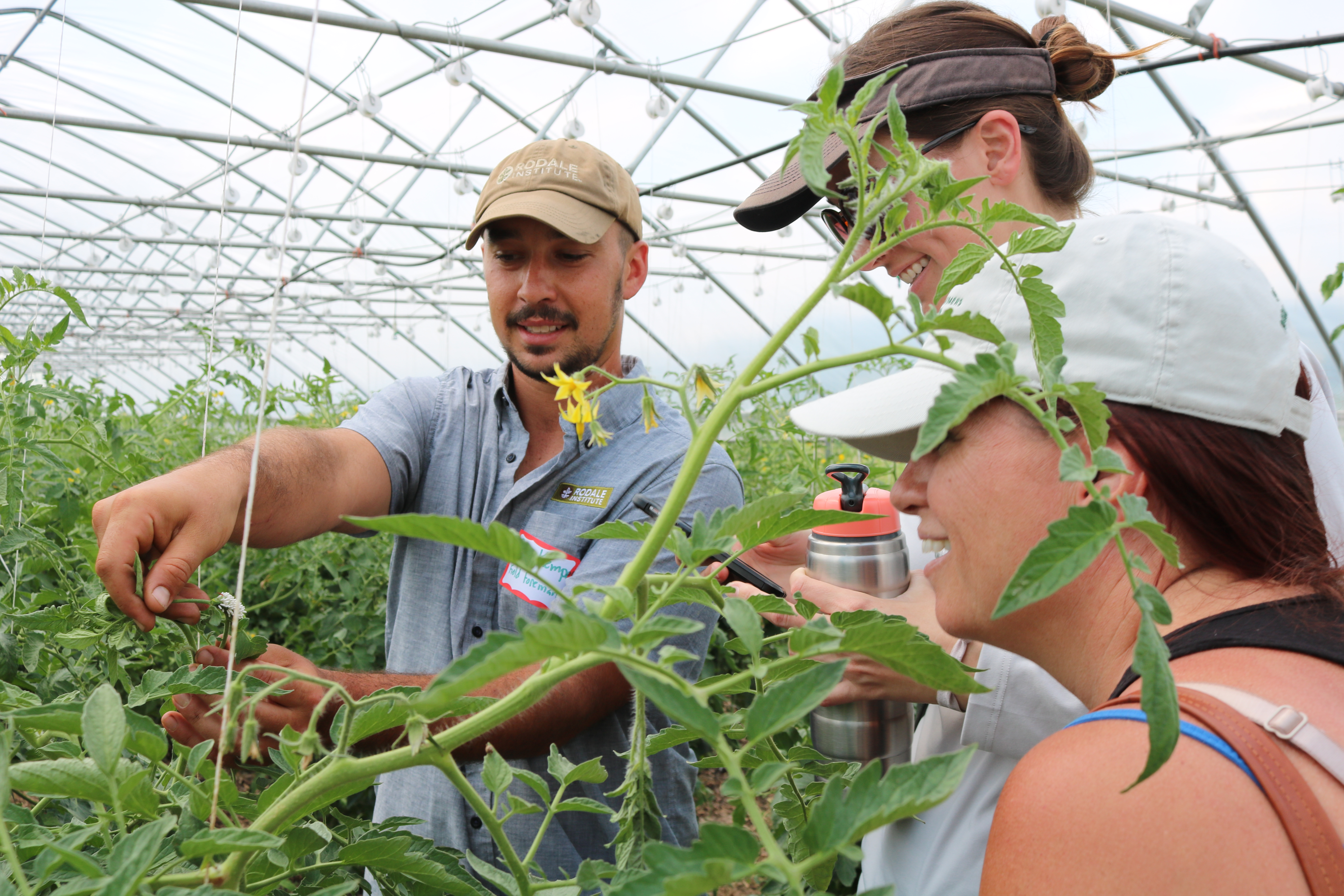 Grafted tomatoes in high tunnel