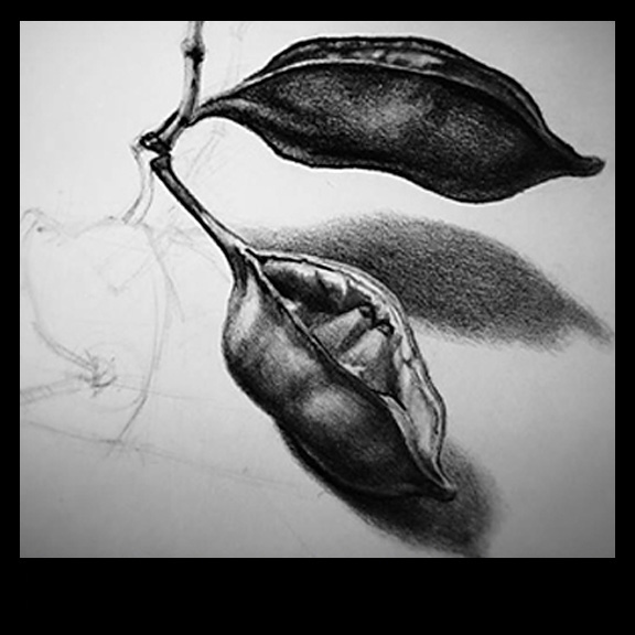 drawing of seed pods by Artist Kevin McCain