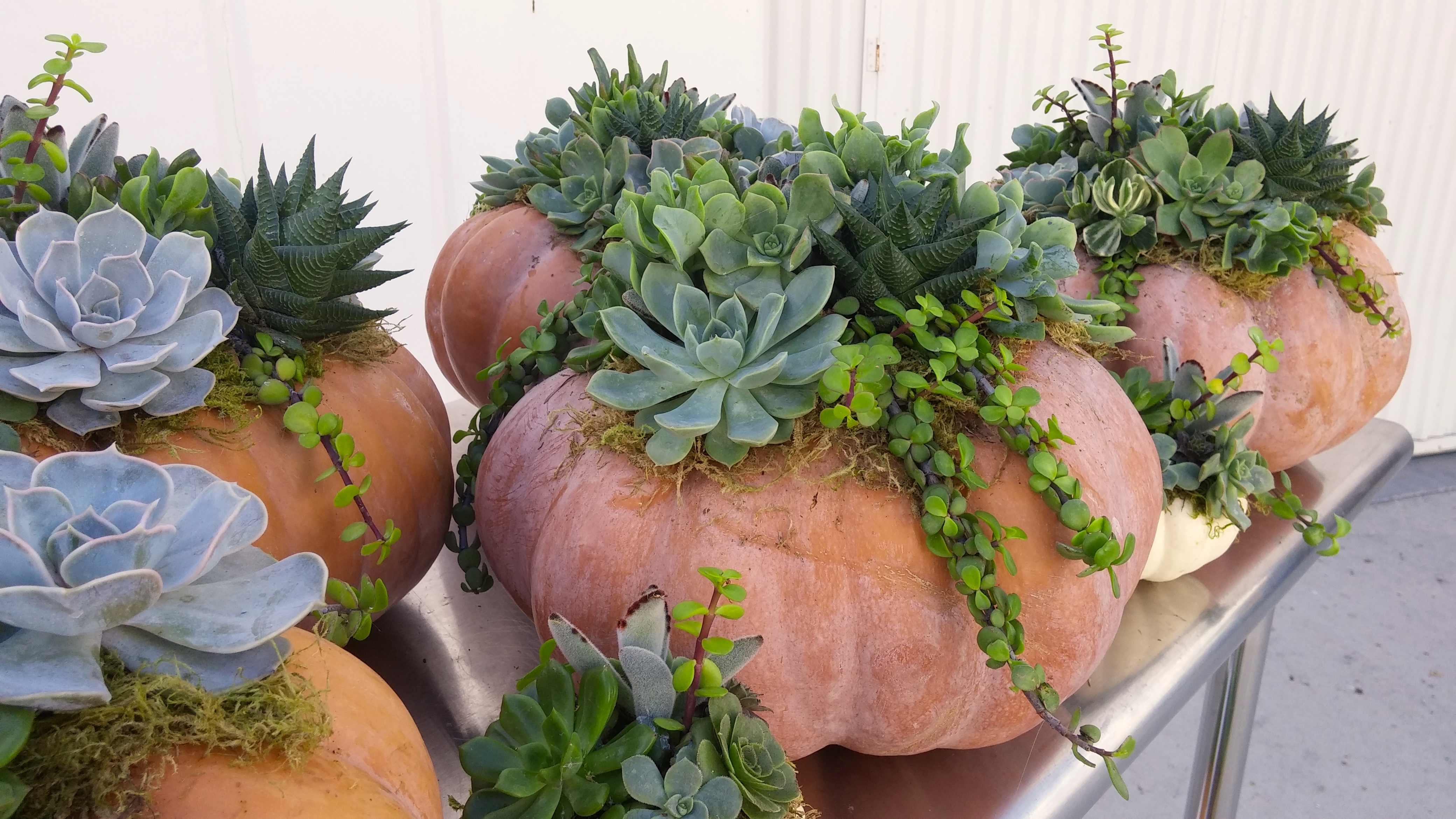 Succulent Pumpkins