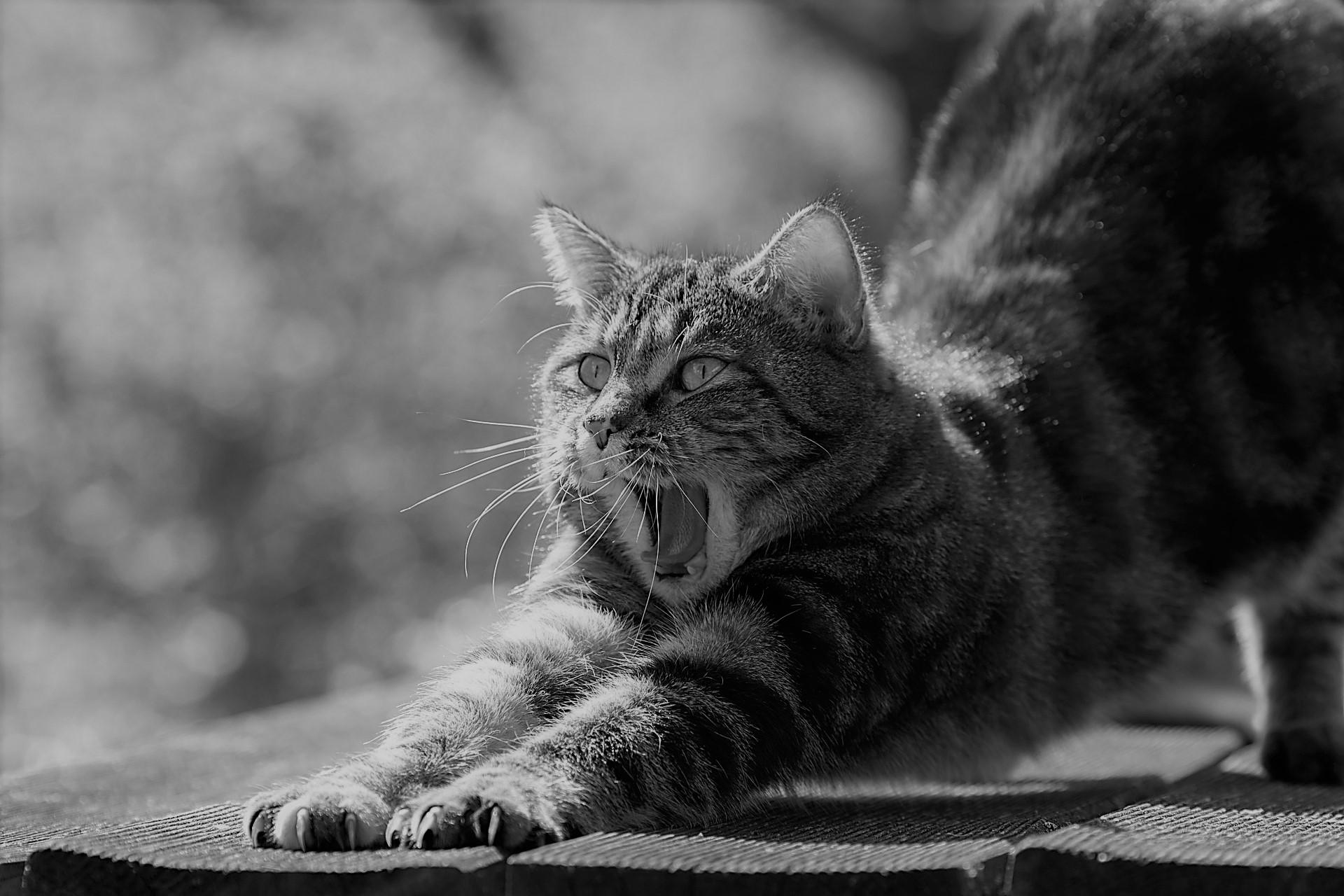 Katze gähnend und streckend