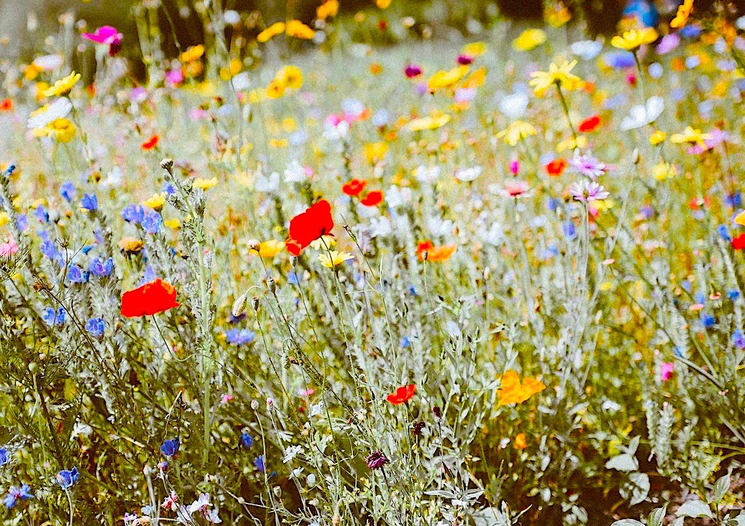 Close up picture of a wildflower meadow with poppies in amongst it