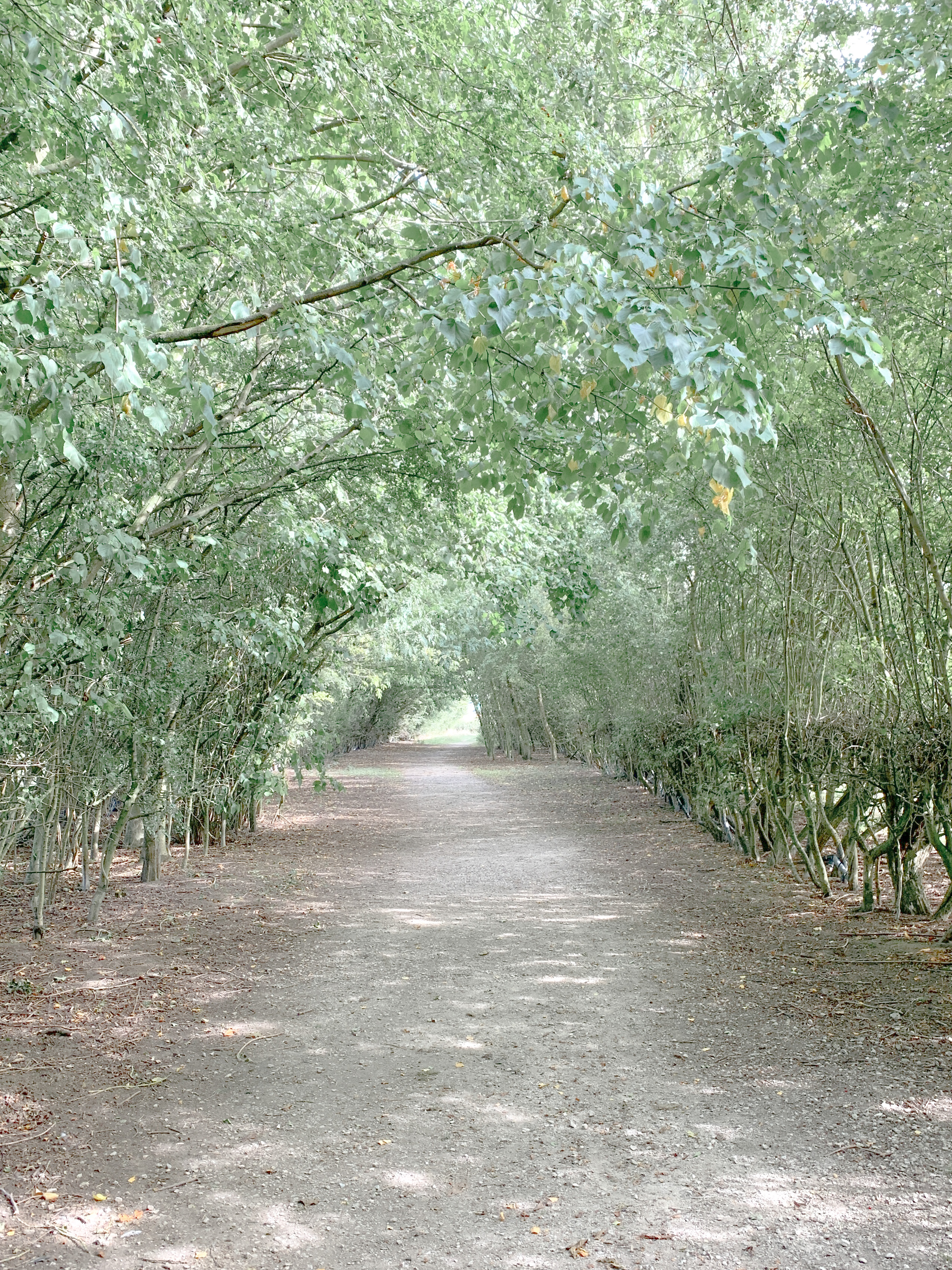 Long dusty road with big arching trees at both sides, arching over and creating a canopy with branches and leaves