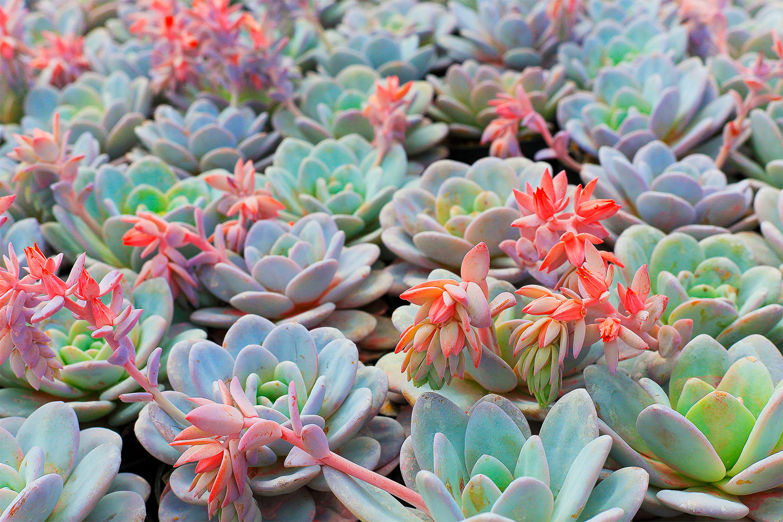 A cluster of succulents with a blue hue.