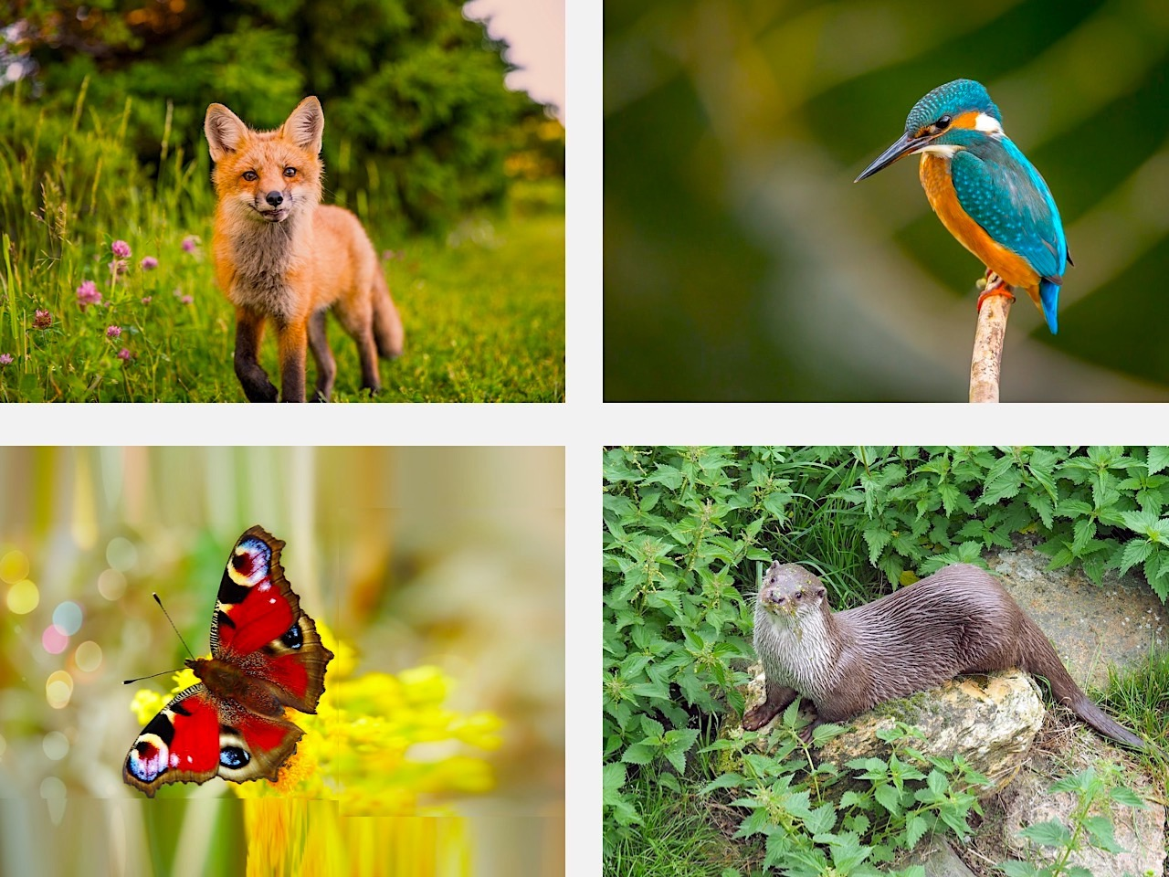 Four pictures of a fox, kingfisher, otter and butterfly