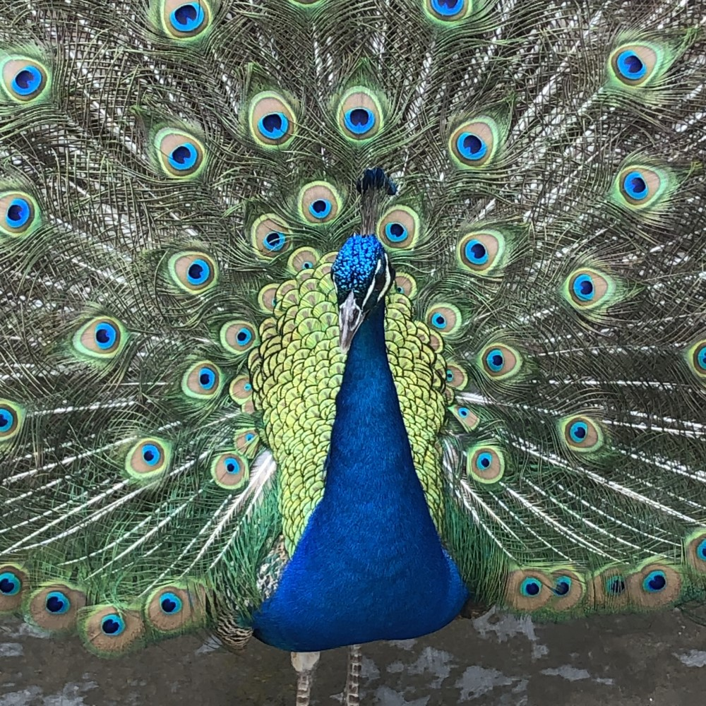 Peacock Fans Tail