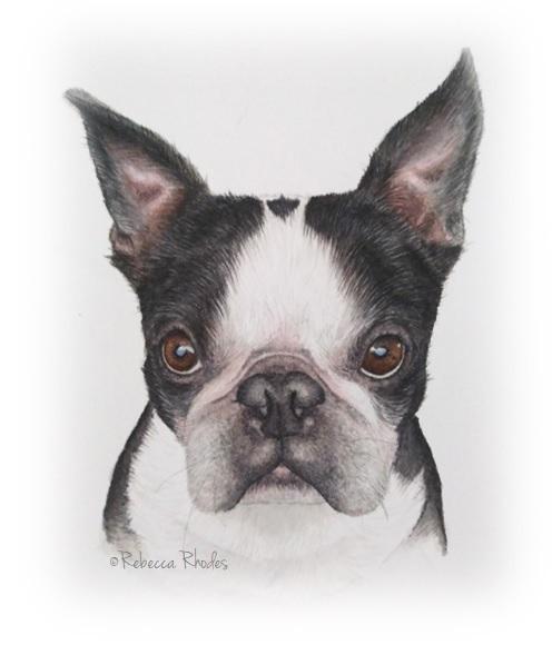 boston terrier watercolor by rebecca rhodes