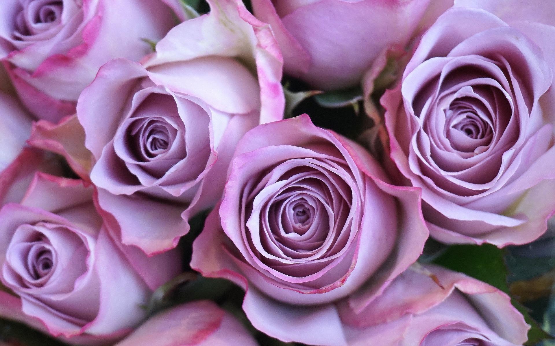 Parisian Roses