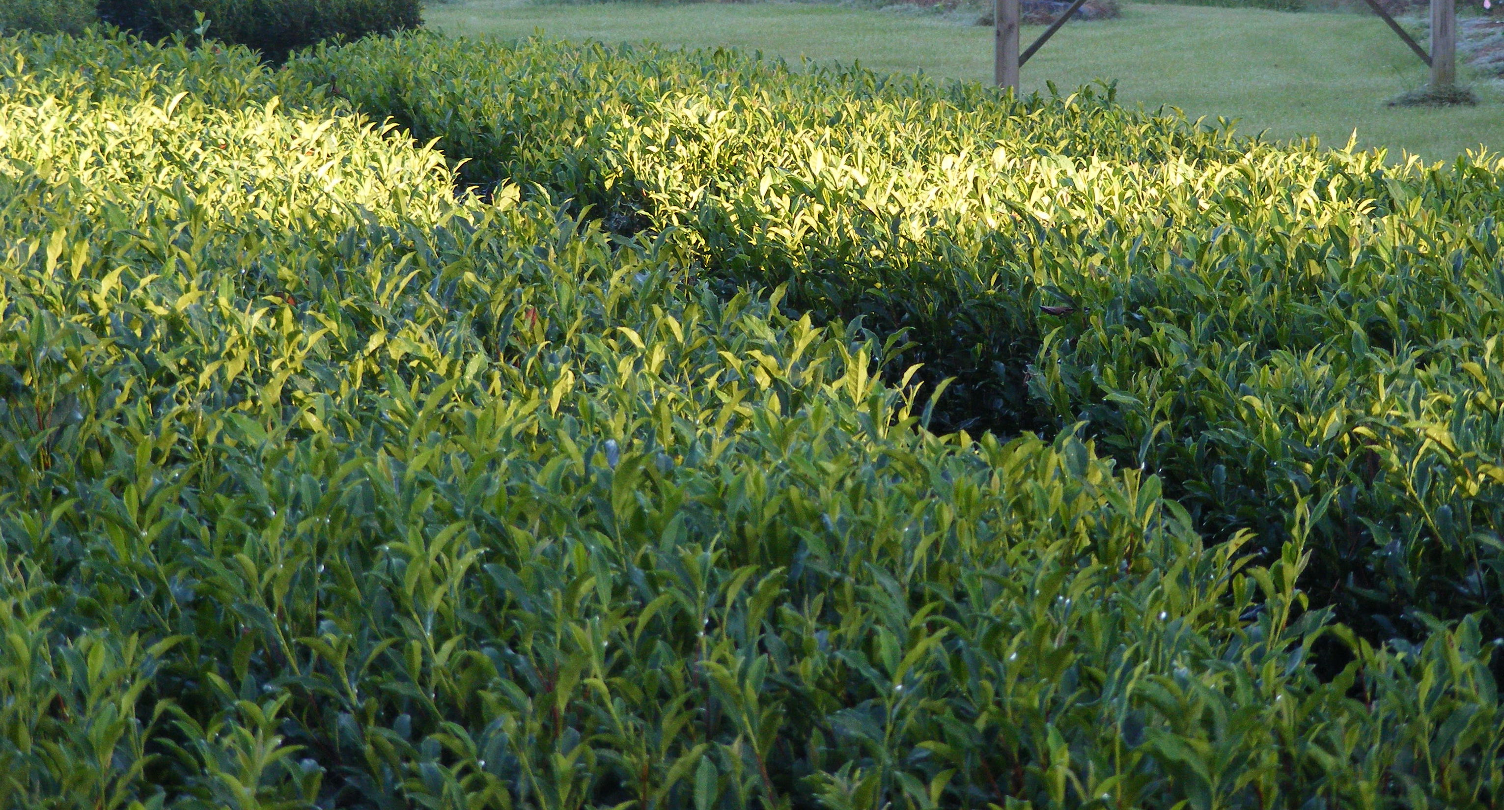 Tea Plants in the Sunset