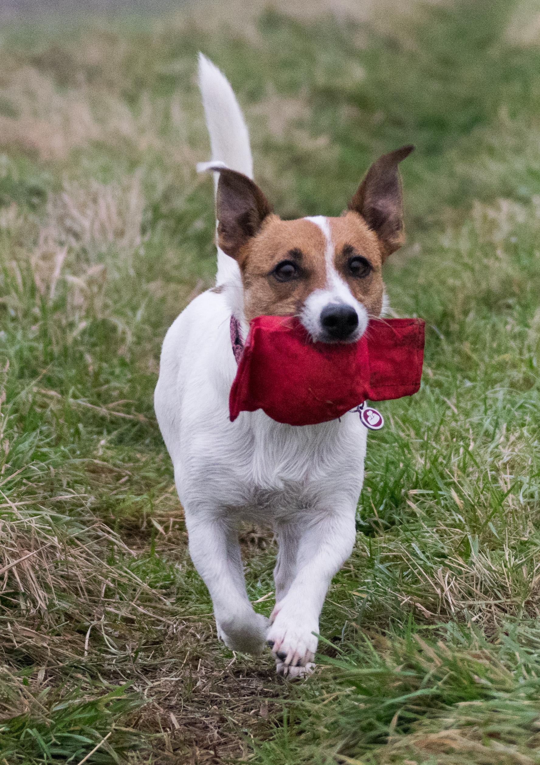 terrier retrieves toy