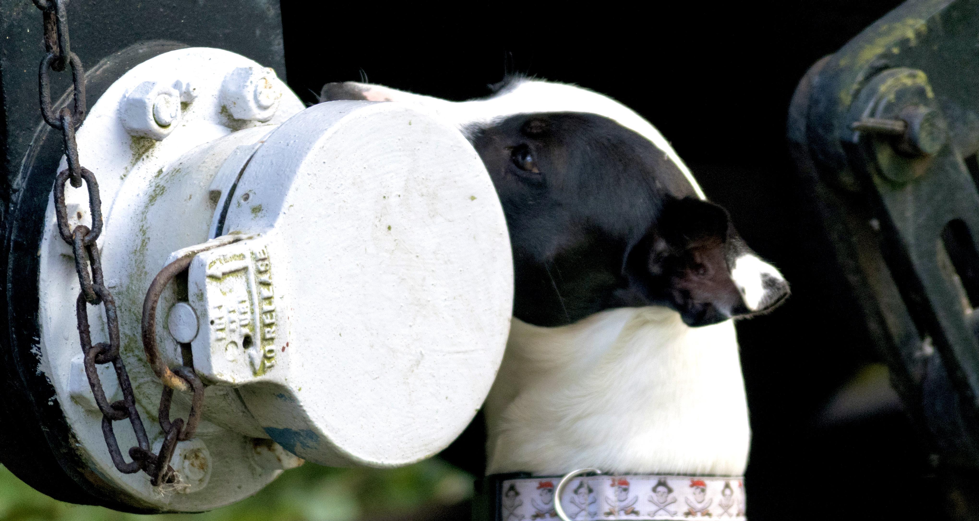 scentwork dog sniffing steam train