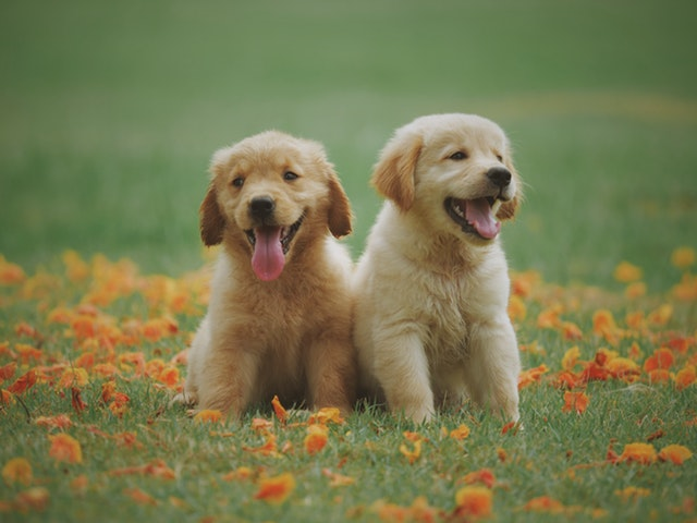 two golden puppies sitting in a field of orange flowers and grass