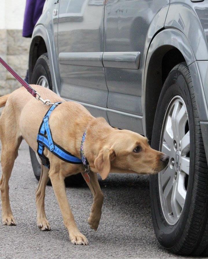 labrador searches car