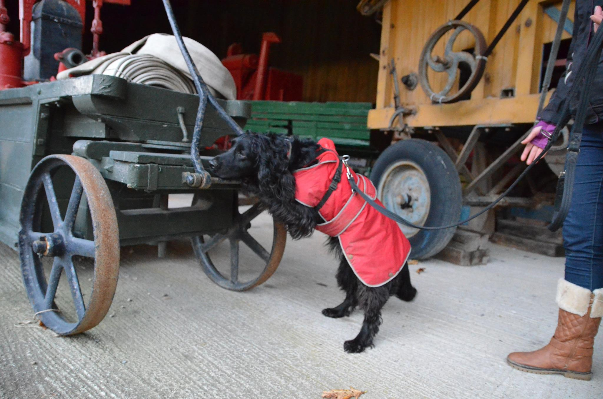 spaniel in red coat searches horse carriage