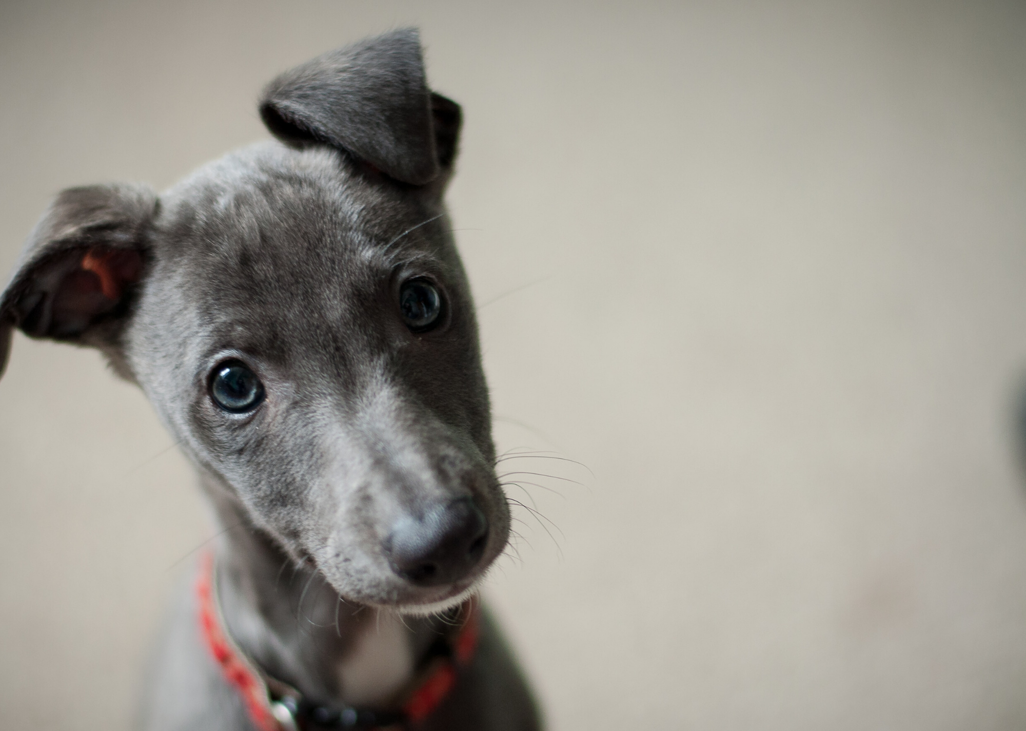 Miniature Greyhound Puppy