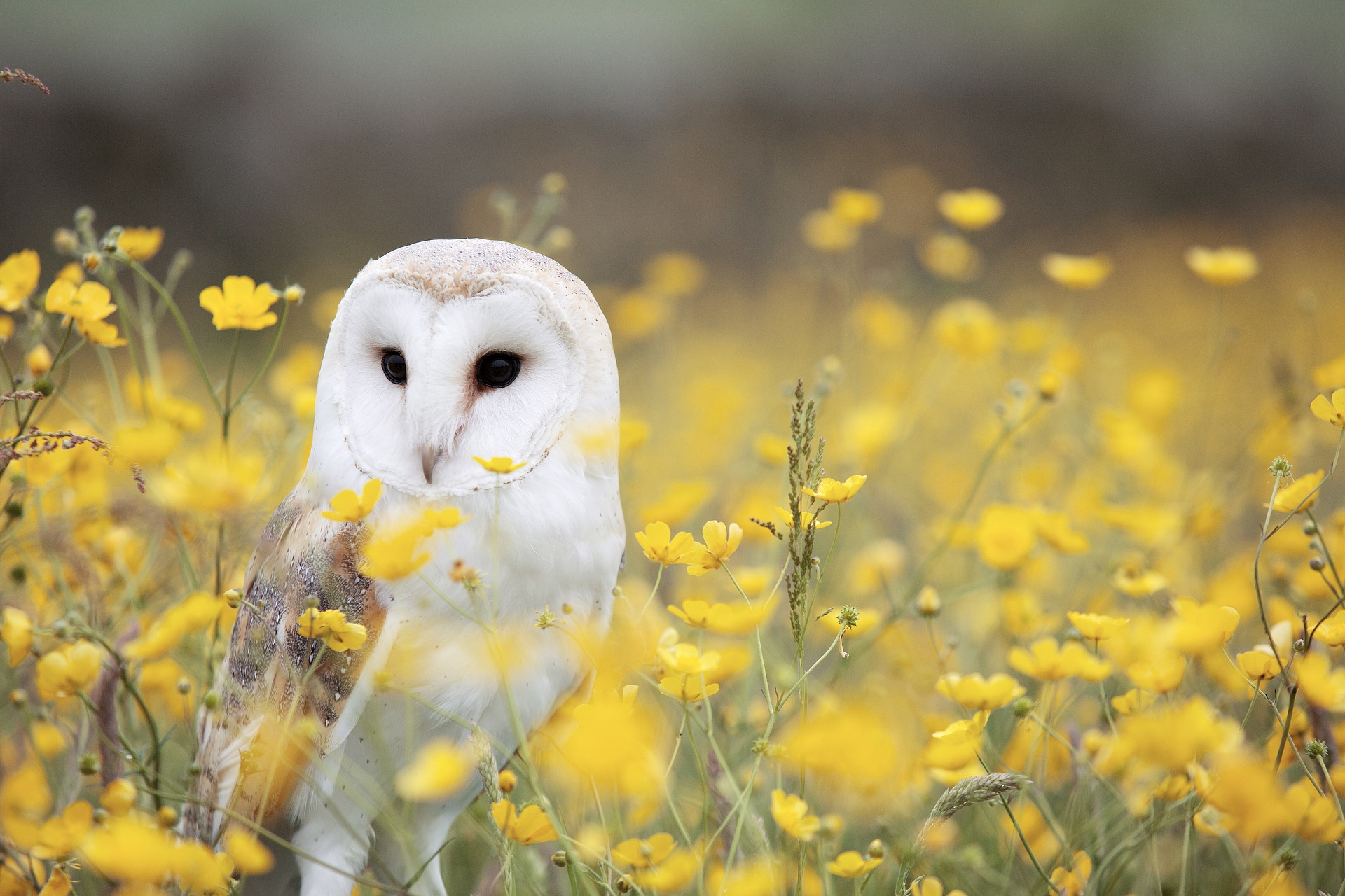 Owl in Flower Fields