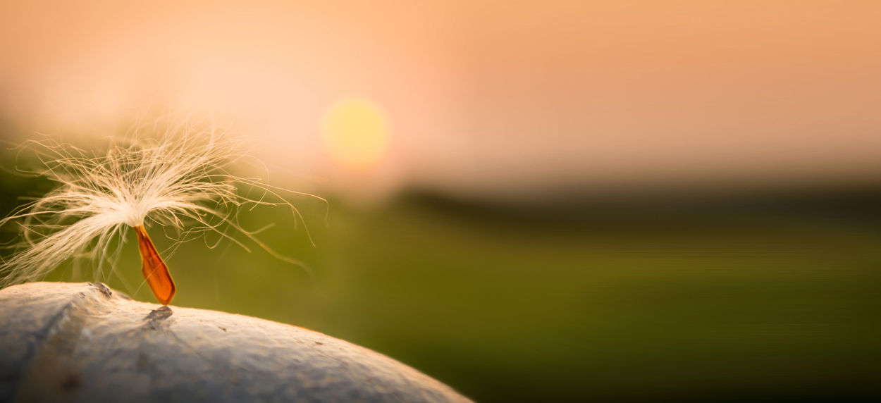 Single dandelion seed sitting on a rock with a blurry grass and sunset background.