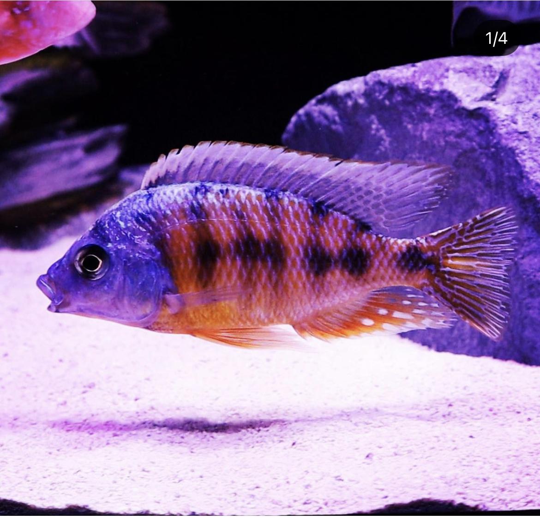 Taiwan Reef African Cichlid