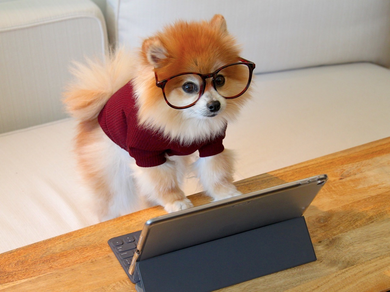 Little dog wearing red jumper and glasses playing at a screen