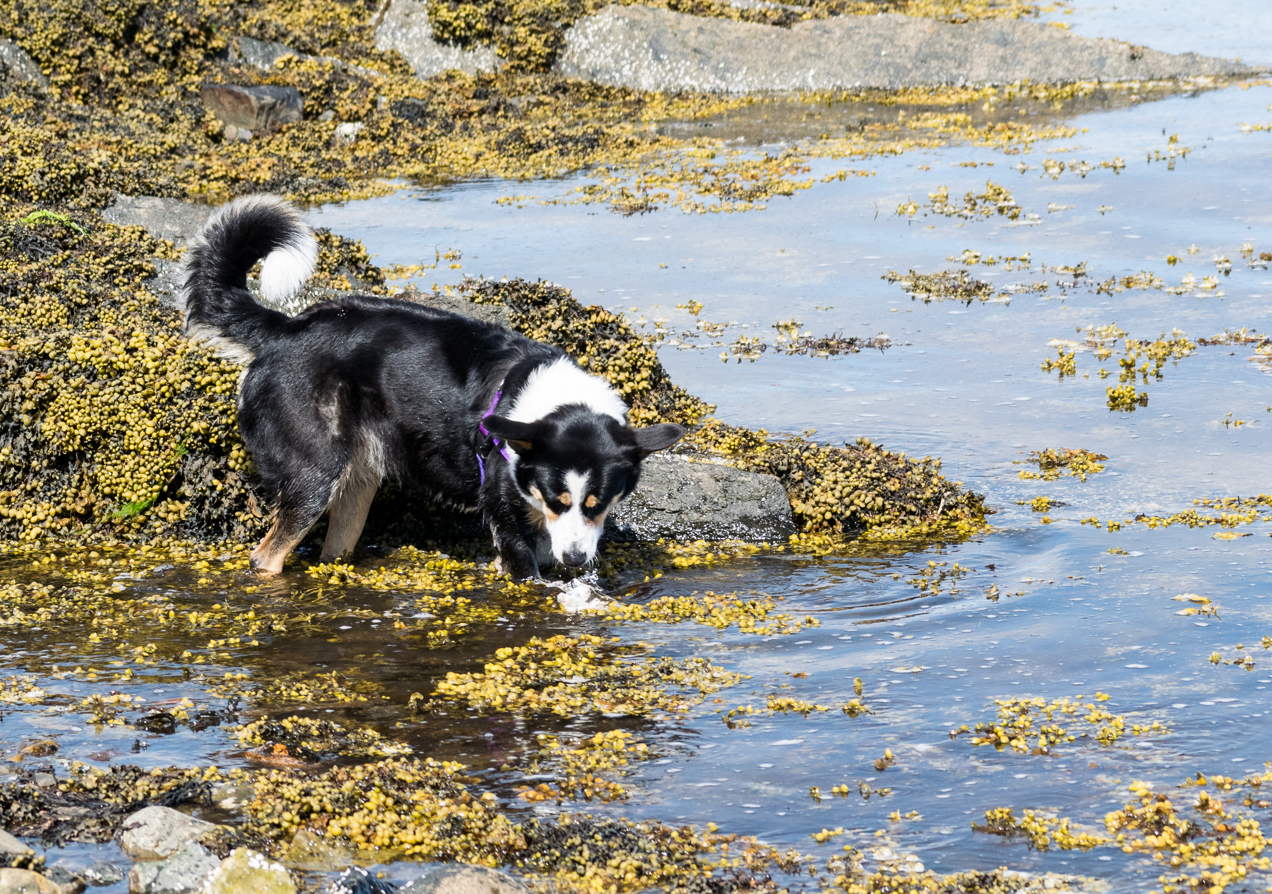 collie searches in open water