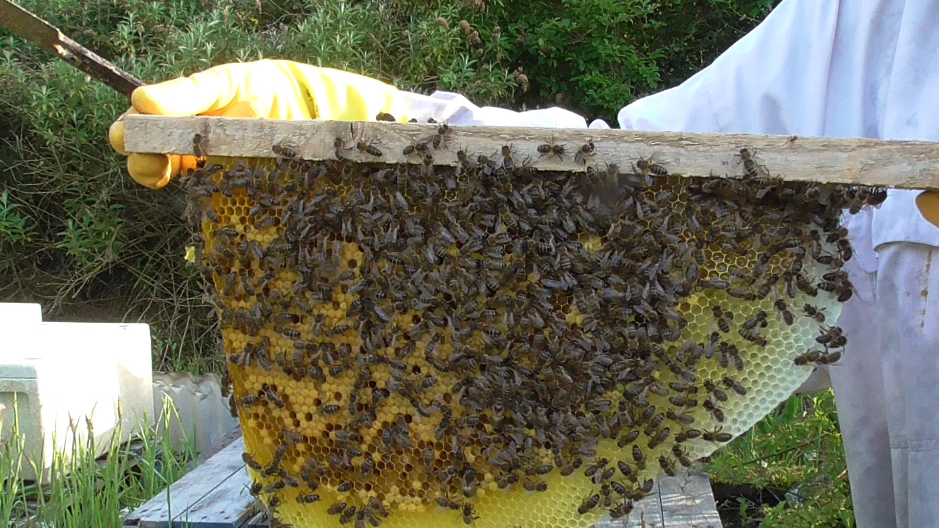 A comb from a top bar hive