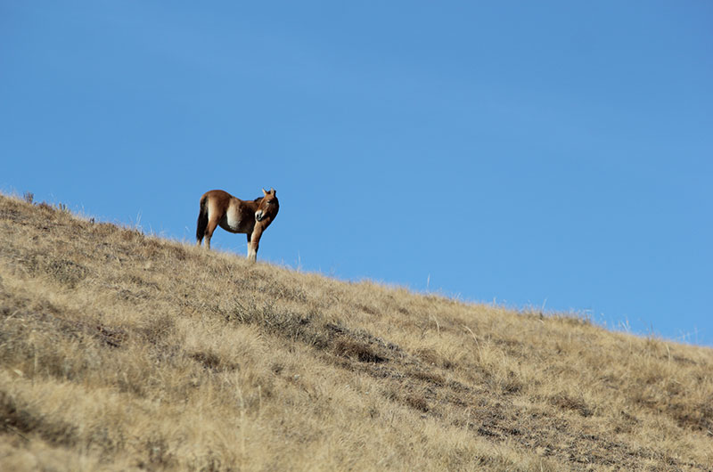 takhi i mongolia