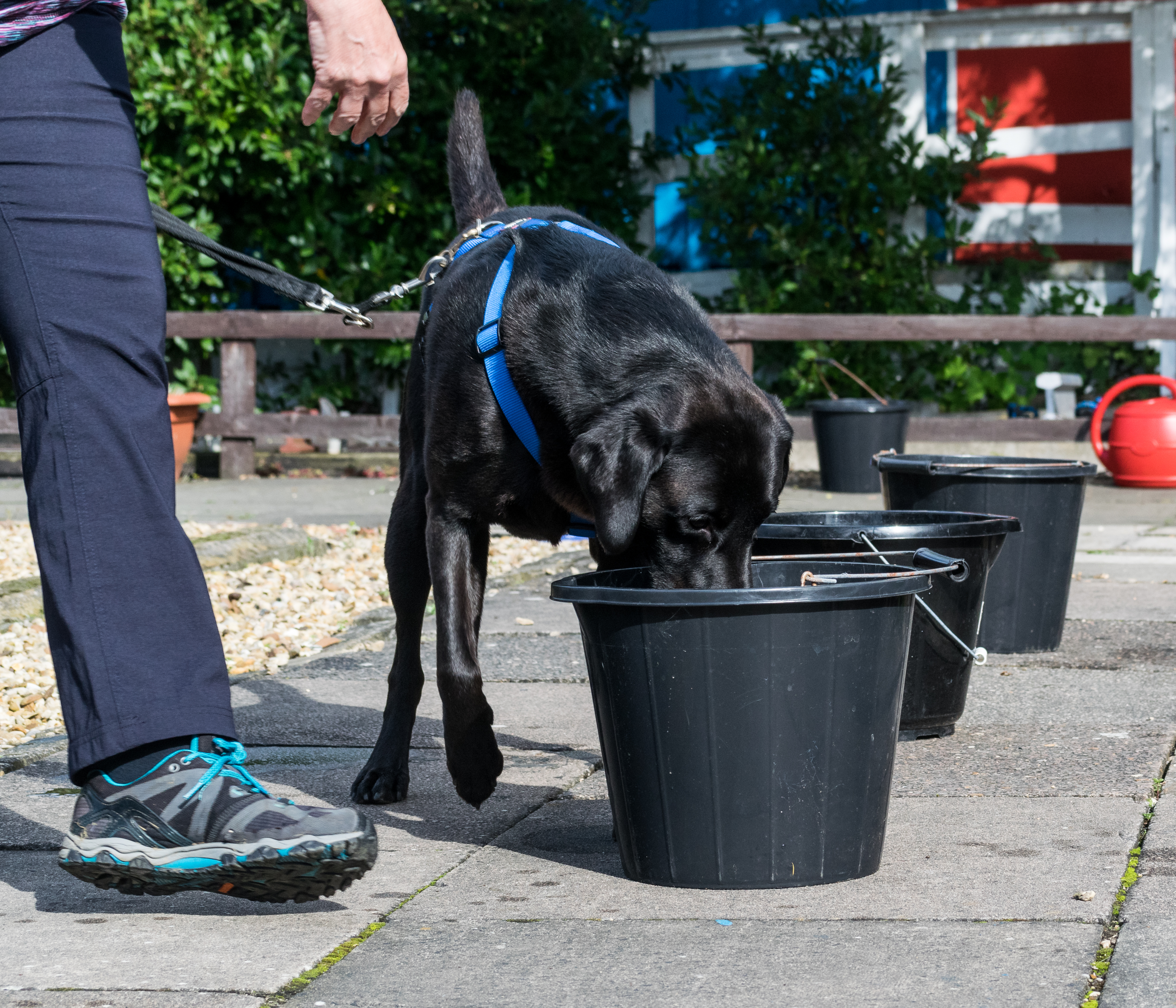 black Labrador searches back buckets of water