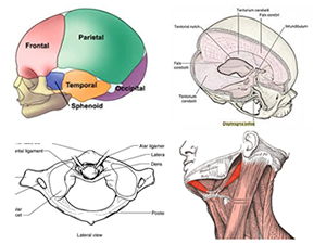 illustrations of head and neck anatomy