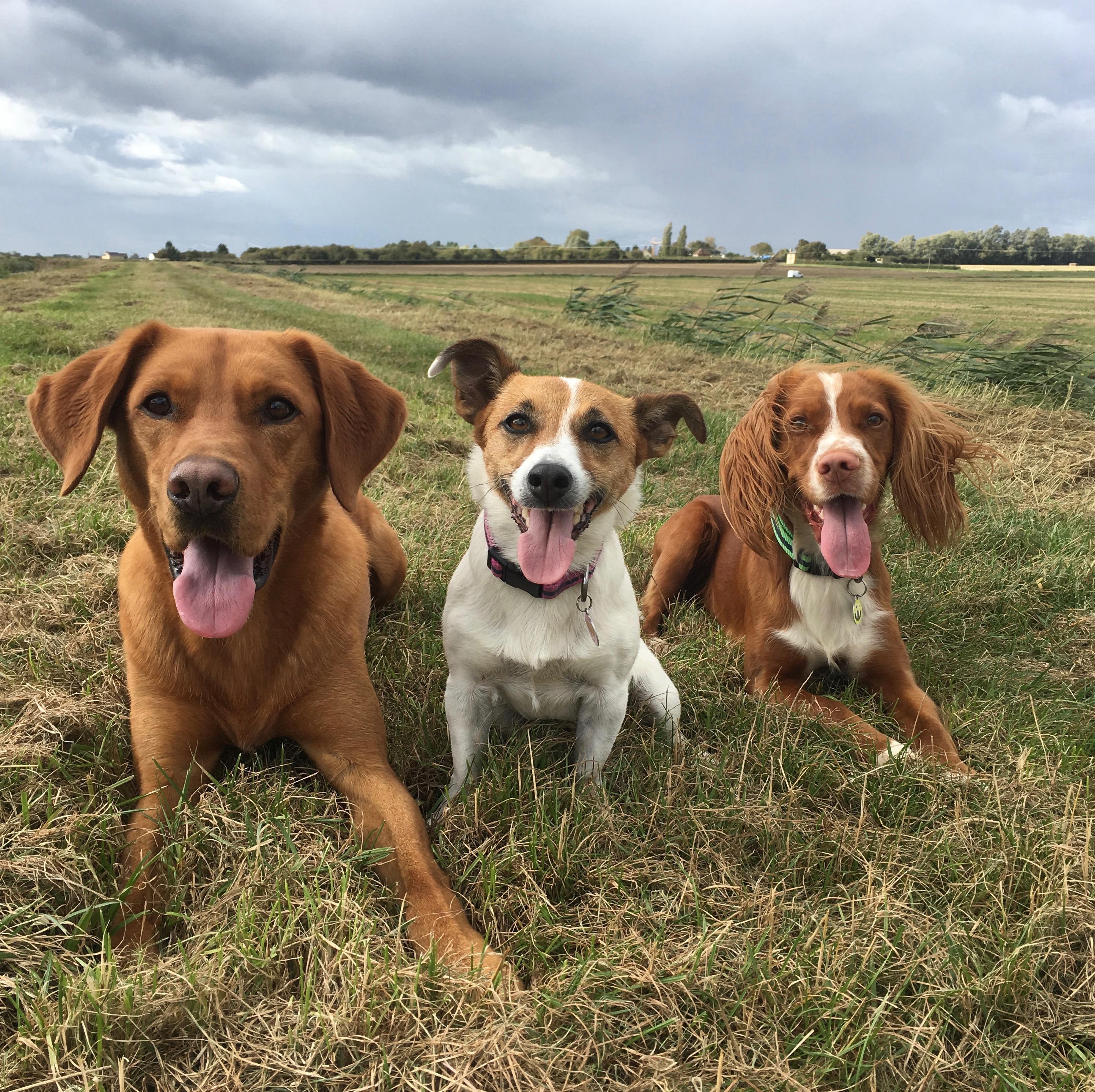 three happy dogs lying in a field